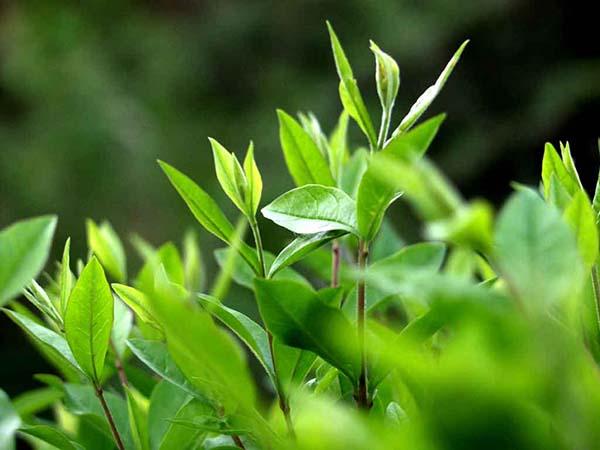 Làm thế nào hết ê buốt răng với trà xanh?